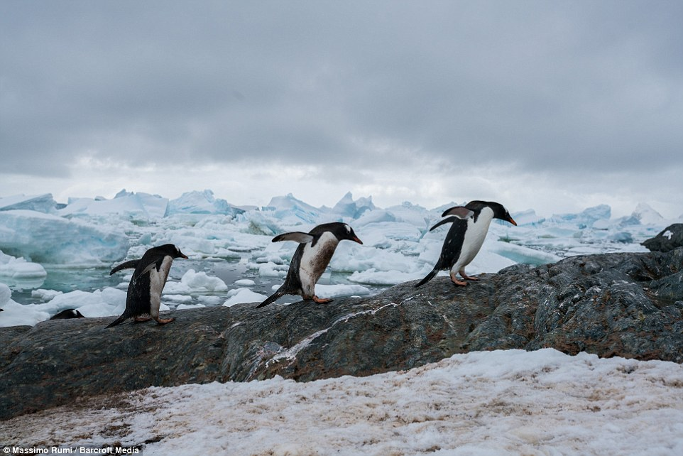 318AD0F200000578-3463605-Mr_Rumi_captures_on_camera_three_Gentoo_penguins_in_their_natura-a-39_1456404051802