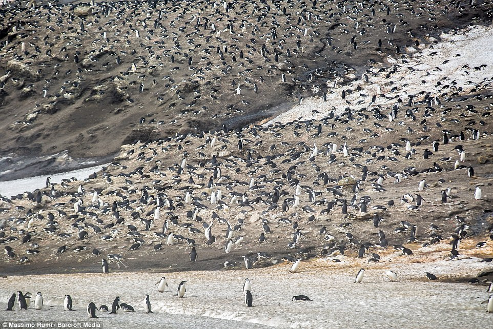 318AD25000000578-3463605-A_colony_of_penguins_Mr_Rumi_travelled_across_the_world_s_most_d-a-3_1456408286244