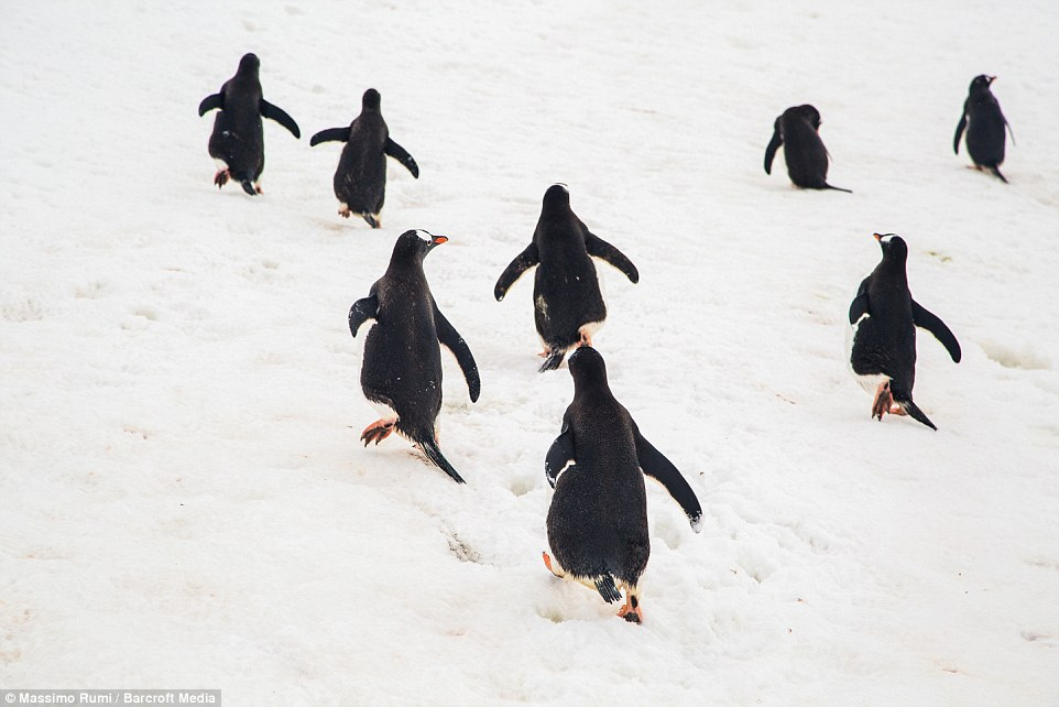 318AE07600000578-3463605-Happy_feet_penguins_climb_to_the_top_as_they_wade_their_way_thro-a-5_1456408286299