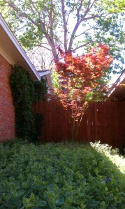 My Maple and Ivy then...