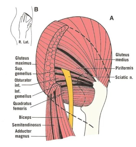 Piriformis and Glutes side view