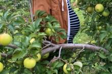 Apple Picking-19