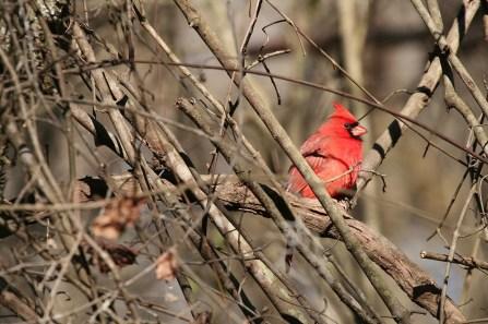 cardinal-1405969_1280
