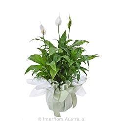 MADONNA Large plant gift presentation AUS 822