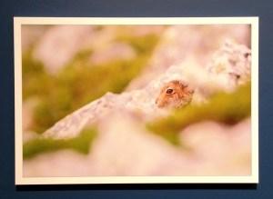 Hare photograph - Wild Perthshire Exhibition