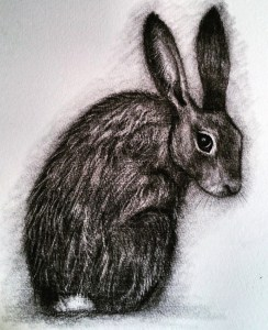 Coy hare charcoal drawing