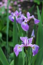 Iris_Pond St