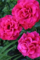 Rockport roses