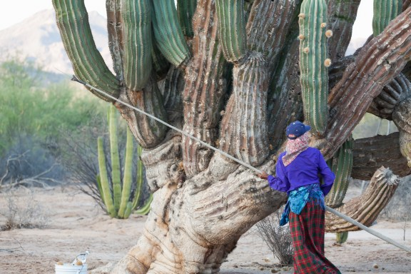 Lola Torres gathers cardon cactus fruit