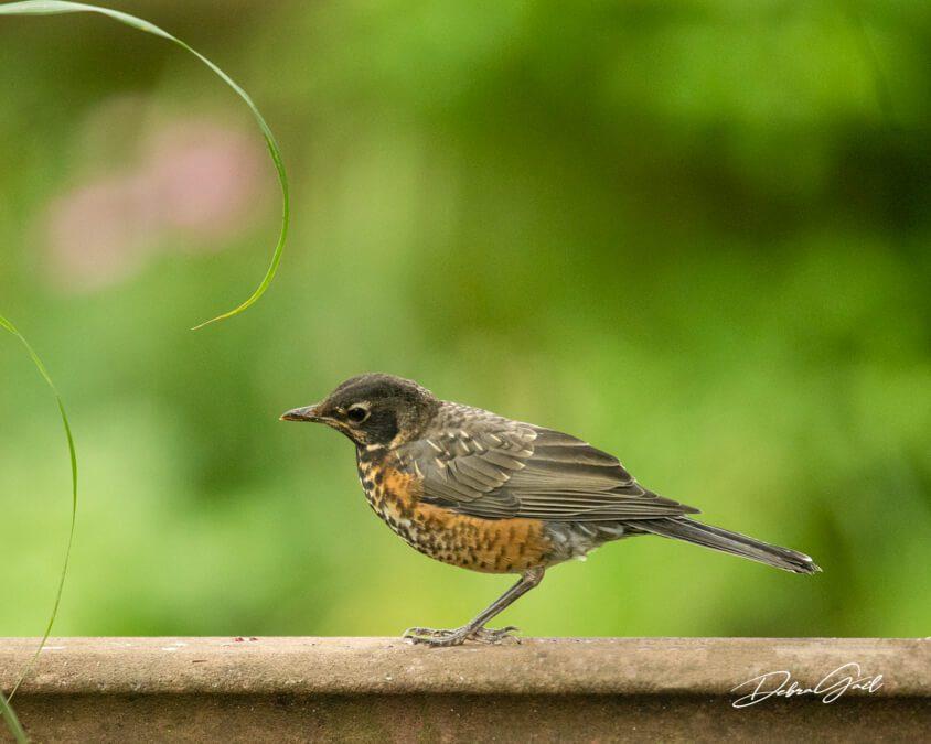 june baby birds a juvenile robin