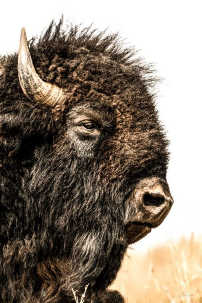 Bison Bull Portrait 02101