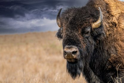Bison Bull 0305