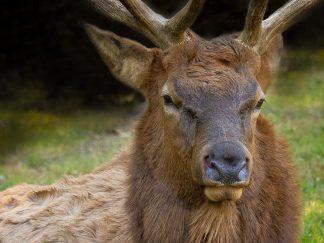 Elk and Deer Photography