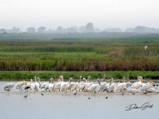 American White Pelican Flock Photography Debra Gail