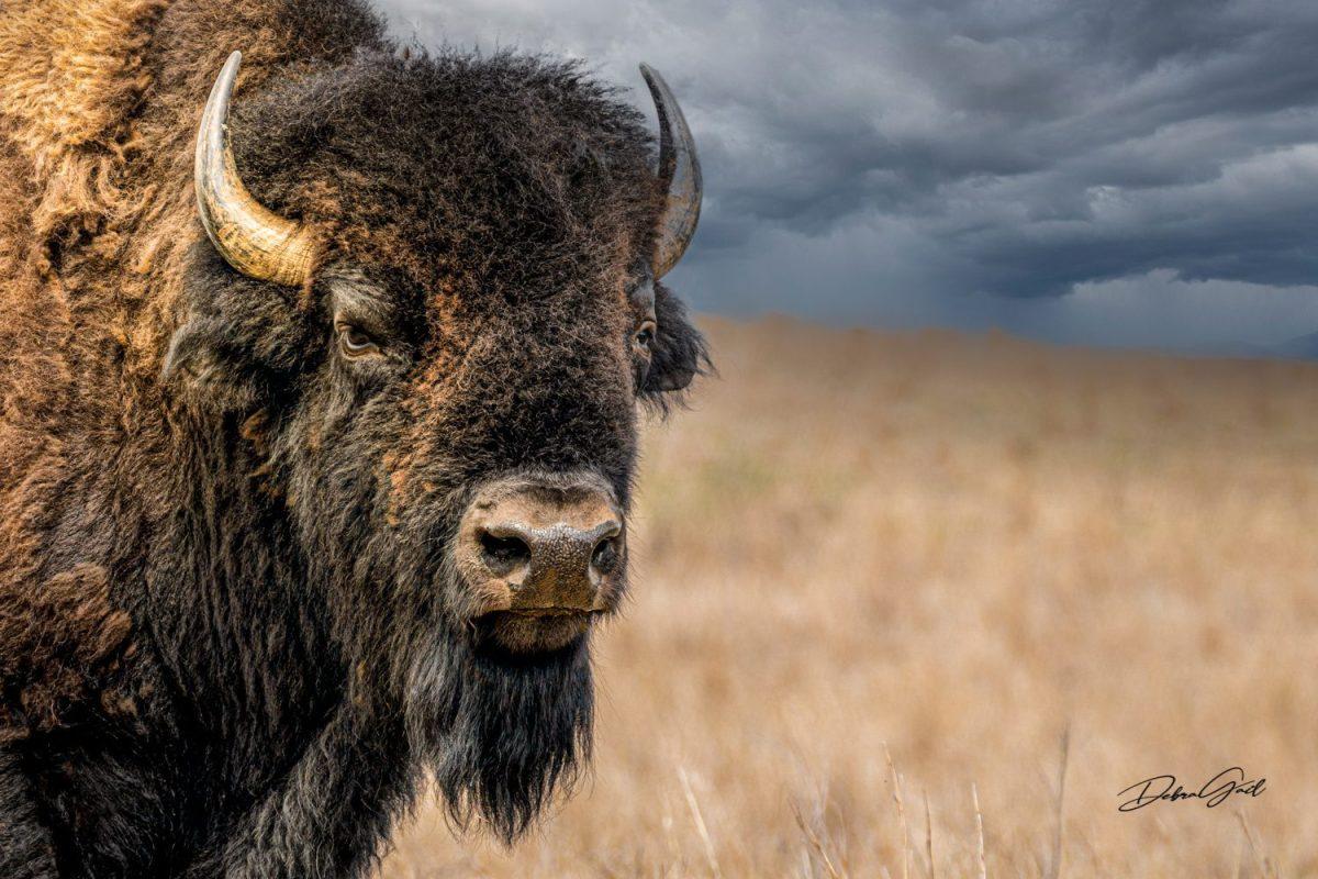 american bison wall art large buffalo wall decor