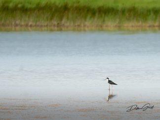 black-necked stilt waterfowl bird debra gail photography