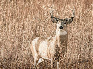 buck deer wall art canvas print