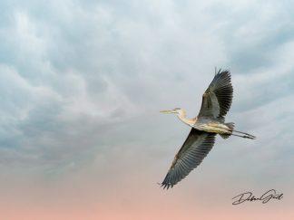 great blue heron 10841 waterfowl photography debra gail