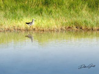 lesser yellowlegs 1225 waterfowl quivira national wildlife refuge debra gail photography