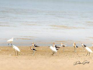 snowy egrets and american avocets wetlands salt marsh migratory birds waterfowl shore birds