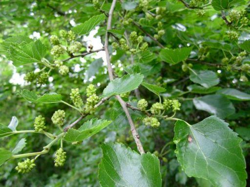 MulberriesGreen