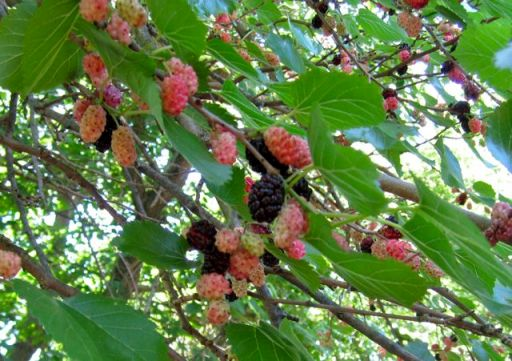 MulberriesRipe