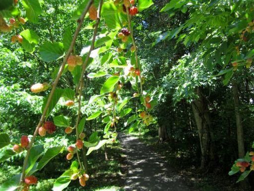 MulberryTrail