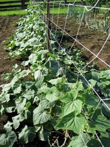 GardenCucumberRow
