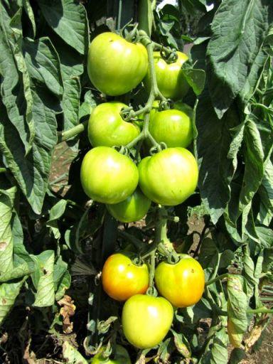GardenTomatoes