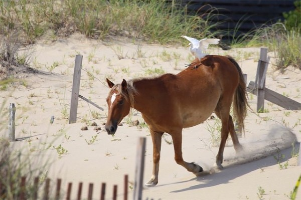 OBXHorseEgretRunning