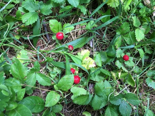 WildStrawberries