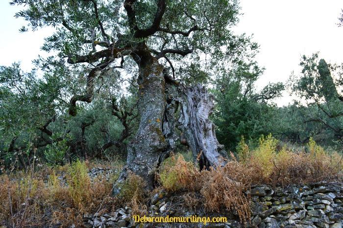Olive tree trunks