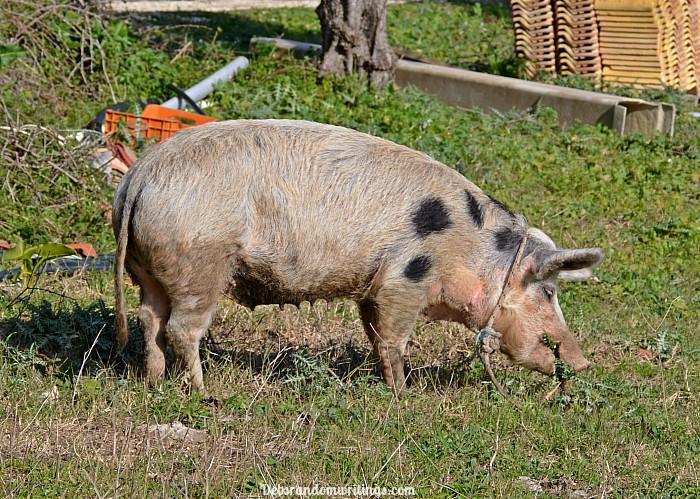 Pig in a field