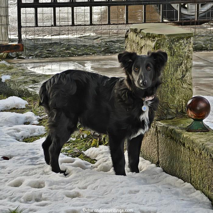 ice dog