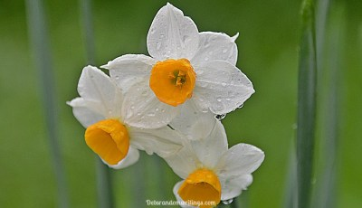 Wet And Wild Narcissi