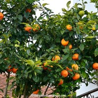 Oranges And Lemons... On The Same Tree?