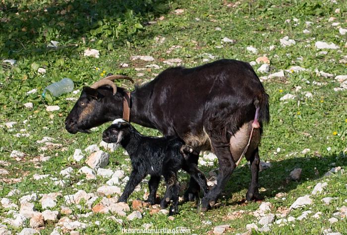 newly born goat