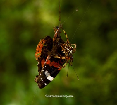spider eating a butterfly