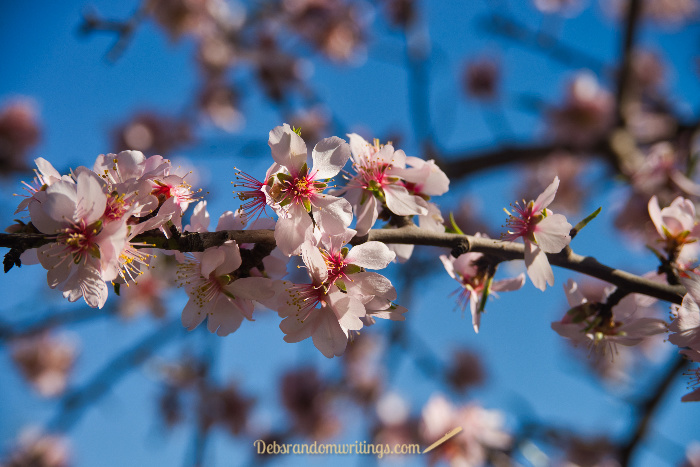 In spring the almond trees add a very pretty splash of colour to the olive groves on Zakynthos.