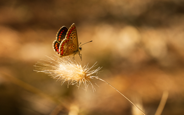 Northern Brown Argus butterfly landing on a dried piece of grass.