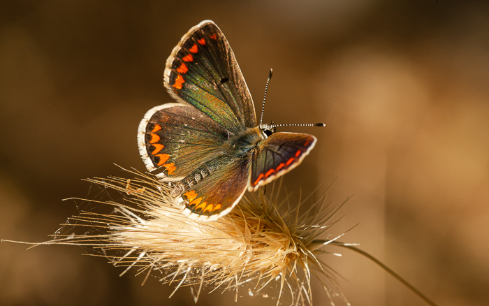 Northern Brown Argus butterfly with open wings resting on a piece of dried grass.