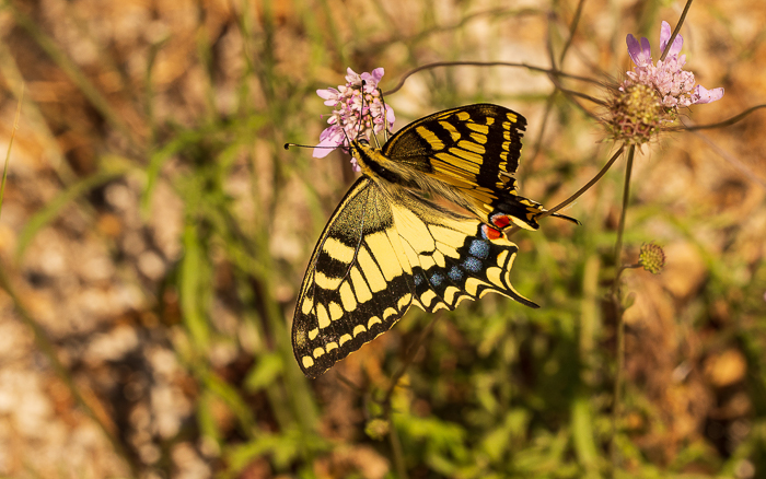 Swallowtail butterfly landed on a wild chive flower.