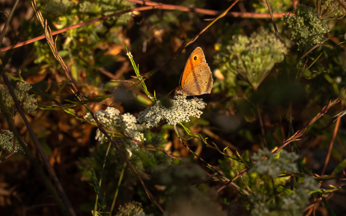Smalll heath brown butterfly, wild parsley, dappled morning light.