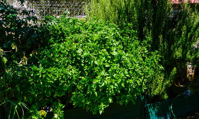 big beautifully green  basil bushes