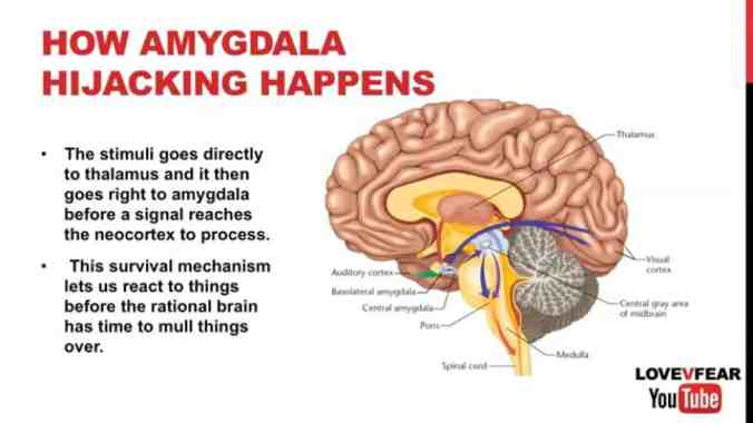 Amygdala emotional center of the brain