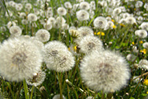 Are dandelion haters just slaves to modern fashion?