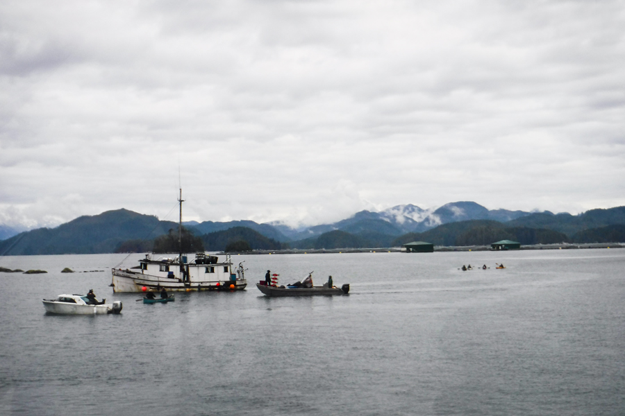 Wild salmon on brink of disaster