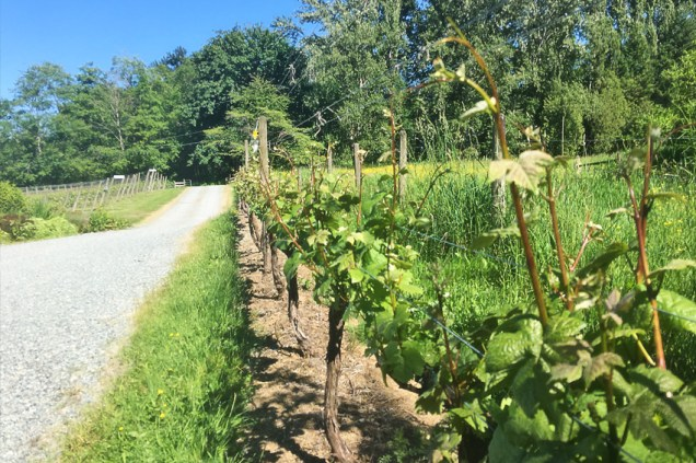 Township 7 Winery vines