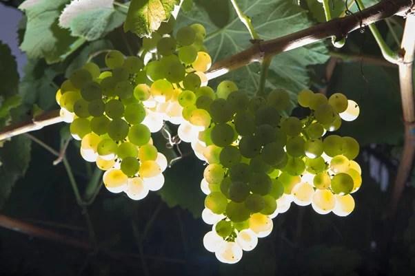 uva albariño