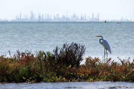 great_egret_nueces_bay